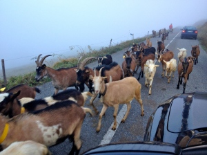 A mobile petting zoo suddenly came running out of the fog on the road up to the Col from the Le Grand Bornand side.