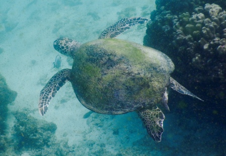 This large sea turtle was about a metre long.