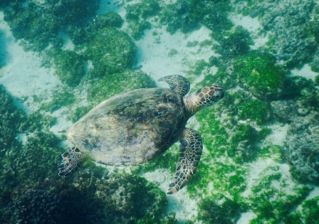 One of the seas turtles we found in the Gulf of Oman.